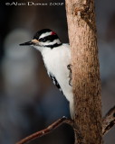 Pic Chevelu - Hariy Woodpecker