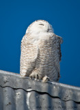 Harfang des Neiges - Snowy Owl 007
