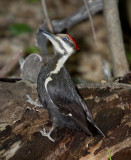 Grand Pic Femelle - Female Pileated Woodpecker