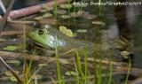 Ouaouaron - Bullfrog