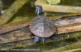 Tortue Peinte(Bébé) - Painted Tortoise(Baby)