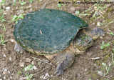 Tortue Serpentine Femelle - Female Snapping Turtle