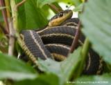 Couleuvre rayée de l'Est- Common Garter Snake