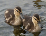 Canards Calvert juvénile - Juveniles Mallard Duck