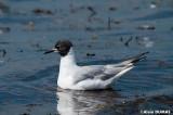 Mouette de Bonaparte mâle -  Male Bonaparte's Gull