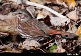Bruant Fauve - Fox Sparrow