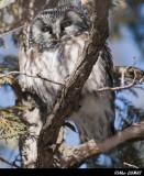 Chouette de Tengmalm - Boreal Owl
