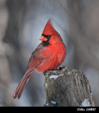 Cardinal Rouge Mâle - Male Red Cardinal