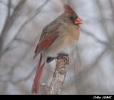 Femelle Cardinal - Female Cardinal