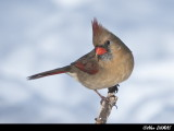 Cardinal Rouge Femelle - Female Red Cardinal
