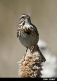 Bruant Chanteur - Song Sparrow