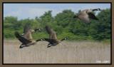 Bernaches du Canada - Canadian Geese