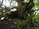 The botanical gardens at Hilo