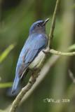 Cyanoptila cyanomelana cumatilis - Blue-and-white Flycatcher