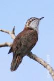 Cacomantis sonneratii - Banded Bay Cuckoo