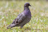 Columba livia - Rock Pigeon