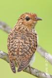 Cacomantis merulinus - Plaintive Cuckoo