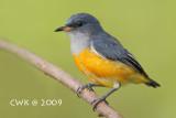 Dicaeini (Flowerpeckers)