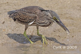 Butorides striata - Little Heron