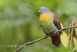 Treron olax - Little Green Pigeon