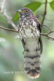 Cuculus fugax - Malaysian Hawk Cuckoo