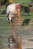Mycteria cinerea - Milky Stork