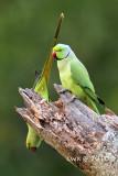 Psittacula krameri - Rose-ringed Parakeet