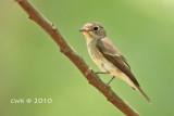 Muscicapa dauurica - Asian Brown Flycatcher
