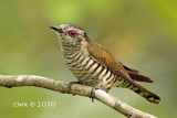 Chrysococcyx minutillus - Little Bronze-Cuckoo