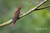 Cuculus saturatus - Oriental Cuckoo