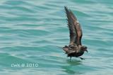 Oceanodroma monorhis - Swinhoe's Storm-petrel