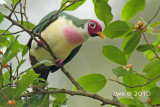 Columidae (Pigeons & Doves)