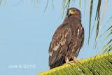 Aquila Clanga - Greater Spotted Eagle