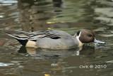 Anatini (Typical Ducks)