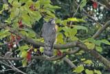 Accipter nisus - Eurasian Sparrowhawk