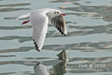 Larus ridibundus - Black Headed Gulls