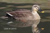 Anas poecilorhyncha - Spot-billed Duck