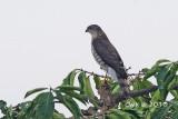 Accipiter gularis - Japanese Sparrowhawk
