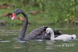 Cygnus atratus - Black Swan
