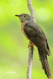 Cacomantis sepulcralis aeruginosus - Rusty-breasted Cuckoo