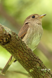 Muscicapa williamsoni - Brown Streaked Flycatcher
