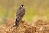 Juvenille Peregine Falcon