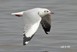 Larus brunnicephalus - Brown-headed Gull