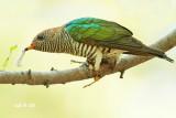 Chrysococcyx maculatus - Asian Emerald Cuckoo