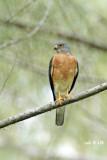 Accipiter soloensis - Chinese Goshawk