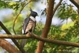 Aviceda leuphotes - Black Baza