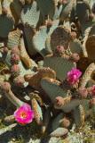 Gray_beavertail_cactus.jpg