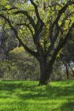 oak spring