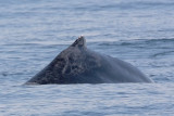 Humpback Whale Hump