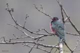 Lewis' Woodpecker